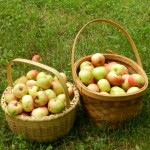 On Sunday, we picked as many as we could process and made applesauce and pie.