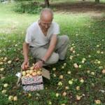 Tim gathering apples.